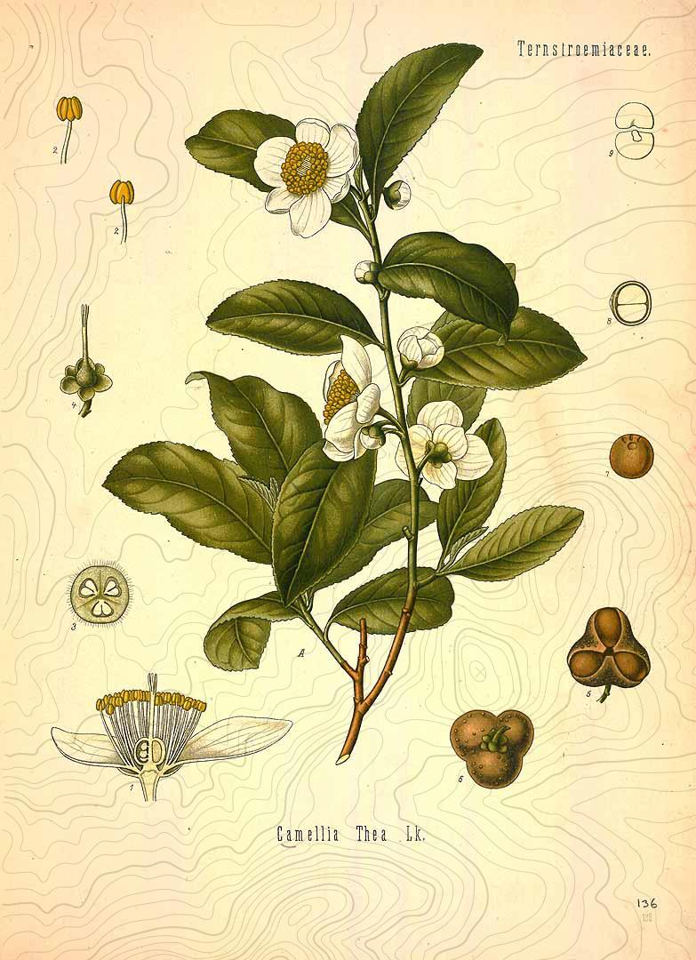 botanical camellia sinensis pollen