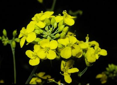brassica-campestris-pollen-flowers.jpg