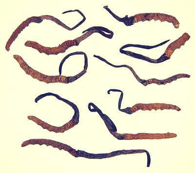 cordyceps-sinensis-extract.jpg