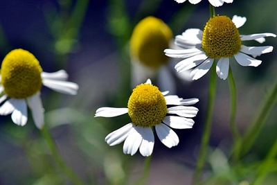 Chamomile Flowers Ripe for Harvest