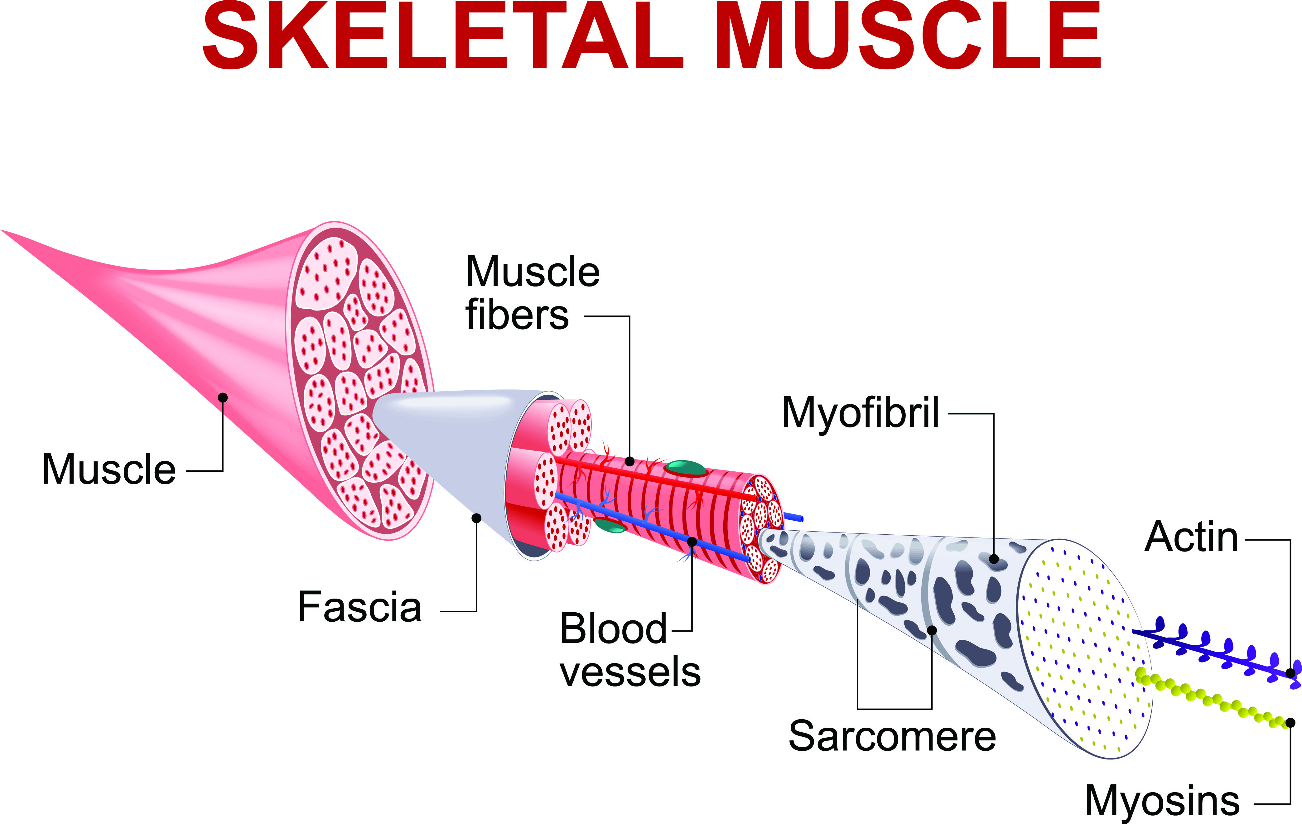 skeletal muscles
