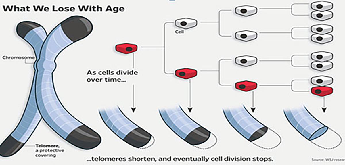 telomere shortening cell