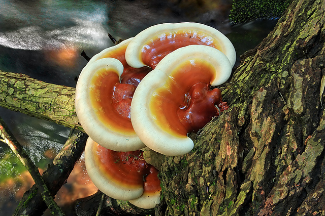 Reishi mushrooms growing in the wild