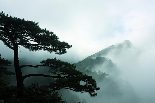 Trees where we harvest pine pollen at peak potency