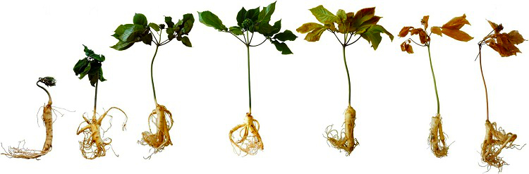 Chinese Ginseng plant