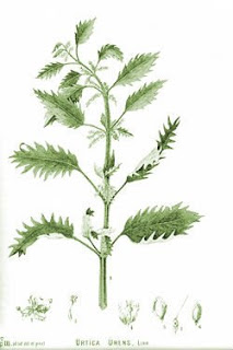 Illustration of Stinging Nettle plant